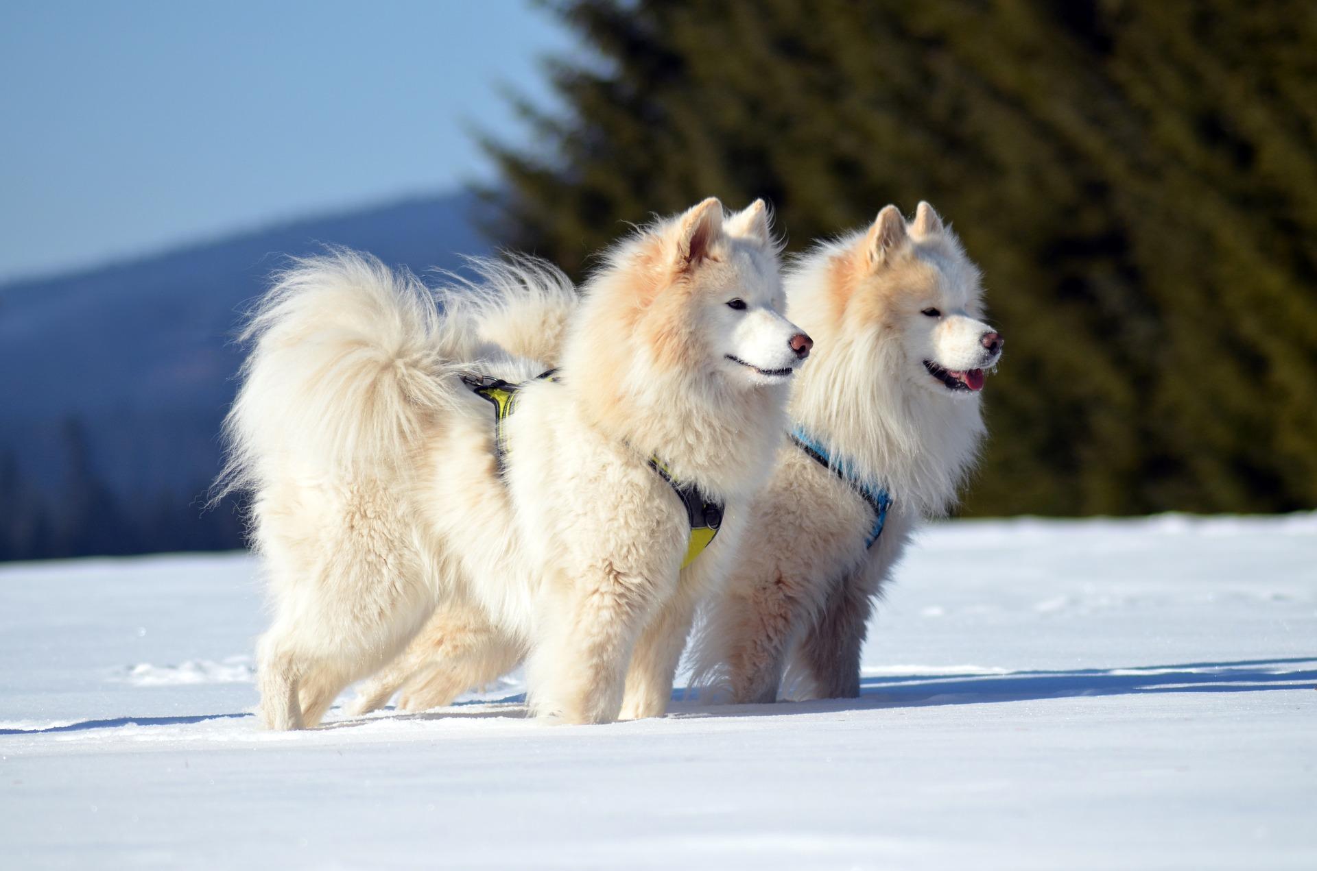royal canin samoyed
