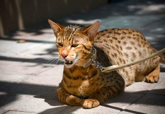 The Ashera cat