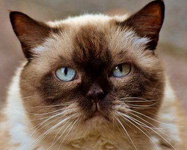 laperm chausie catgenie 120 orijen kitten loc8tor tabcat orijen cat & kitten orijen kitten