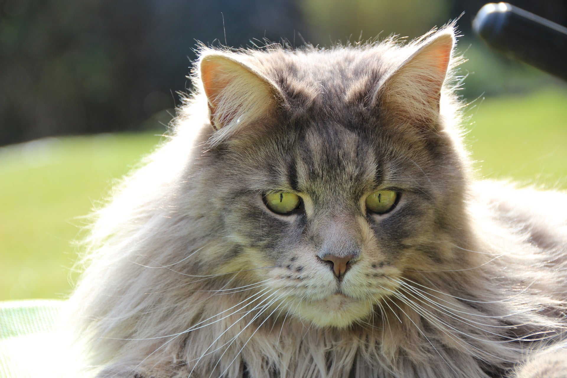 Maine Coon cat cute cats pink cat