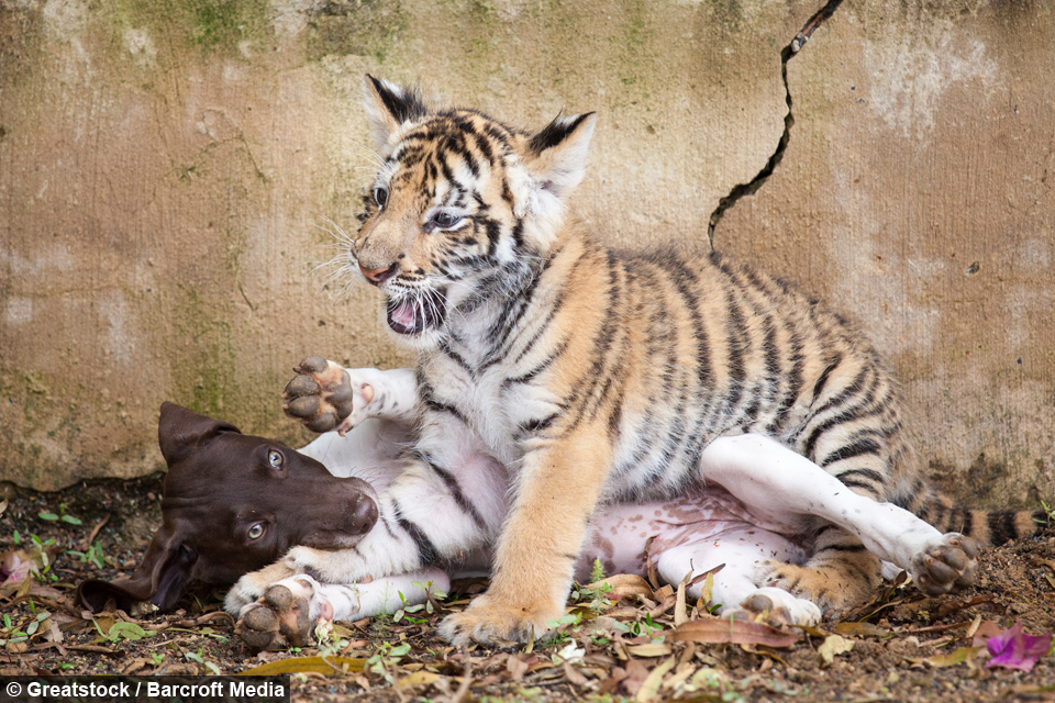 Tiger Cub Rejected By Mother Finds Friendship In A Puppy
